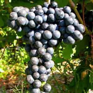 Butasi vita de vie, Feteasca Neagra, soi de vin