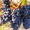 Burgund-Mare-butasi-soi-de-vin-negru