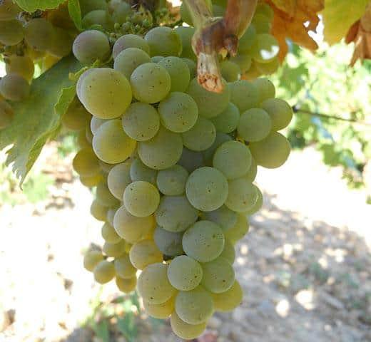 Sauvignon Blanc butasi vita de vie soi alb de vin