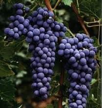 Cabernet Sauvignon butasi vita de vie soi de vin
