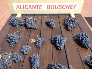 Vita de vie Alicante Bouschet