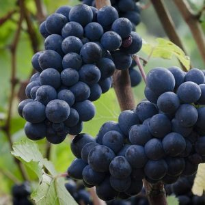 Pinot Noir butasi vita de viesoi pentru vin rosu