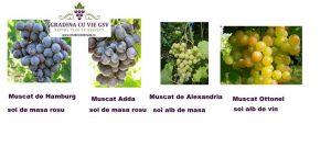 4 soiuri butasi vie de Muscat: Adda, Hamburg, Alexandria, Ottonel