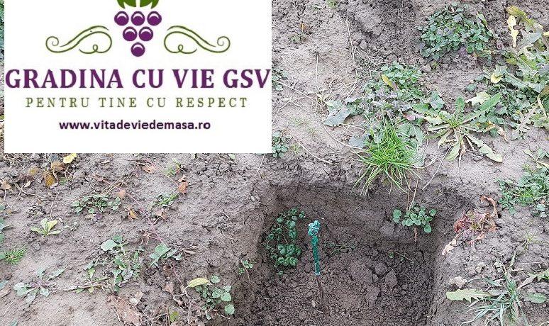 Am plantat butasi vita de vie Muscat Adda in ianuarie